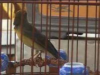 青麻料鸟分公母图片