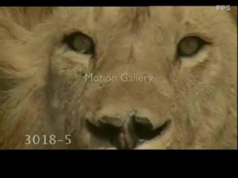 老虎狮子打架视频】