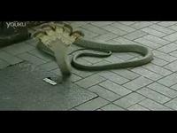 印度/印度神庙惊现五头蛇 五蛇连体婴/游戏视频热门