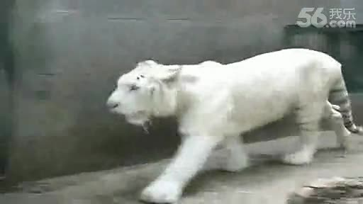 人和老虎打架视频
