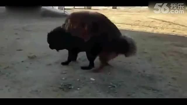 狗与女主人配种视频
