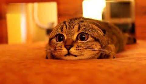 可爱 折耳猫1 超可爱胖胖小 折耳猫-扭扭.
